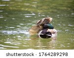 Cute Brown Duck With A Green...