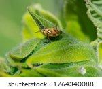 Mirid Bug  Lygus Pratensis  On...