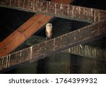 North American Barn Owl. The...