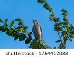A Solitary Mockingbird Perched...