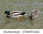 Mallard Duck Male And Female...