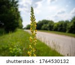 The Yellow Gorse Stands At The...