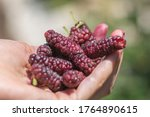Hand Full Of Tibetan Mulberry ...