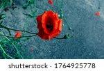 Flower  Red Poppy. On A Gray...