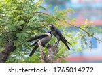 House Crow  Feeding Female Cro...
