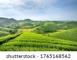 Long Coc Tea Hill  Phu Tho...