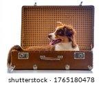 Cute Australian Shepherd Dog In ...