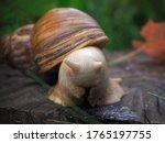 Akhatina\'s Little Snail ...