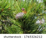 Close Up Of A Large Ripe Pine...