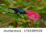 Purple Sunbird On A Wild Flower