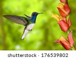 White Necked Jacobin  Florisug...