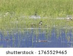 Western grebe nest at salmon...
