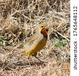 Cape Longclaw Or Orange...