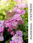 Small photo of Blooming cultivar Japanese spiraea (Spiraea japonica 'Dart's Red') in the summer garden