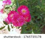 Beautiful Tiny Pink Baby Rose...