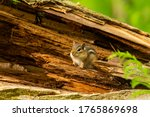 Eastern Small Chipmunk   Baby...