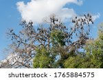 Colony Of Flying Fox Causing...