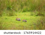 Two Rabbits Eating Grass In The ...