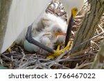 Great White Egret Takes Care O...