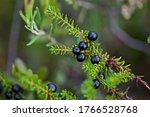 Small photo of Close-up of beautiful black crowberry (Empetrum nigrum) berries. Wonderful black crowberry.
