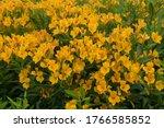 Summer Flowering Bright Yellow...