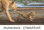 Lioness And Her Lion Cub...
