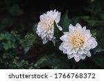 Beautiful White Aster Flower....