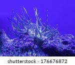 Sea Anemone On Coral In Aquarium