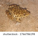 Common Big Frog  Forest Frog O...
