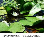One White Lily Protected By...