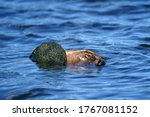 Snapping Turtles Matin...
