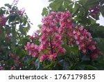 Flowering Red Horse Chestnut...