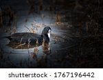 Fine art image of Eurasian coot or common coot or Australian coot or Fulica atra floating in water during winter migration at keoladeo national park or bird sanctuary bharatpur rajasthan india