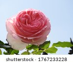 Large Pink Flower Head Of A...