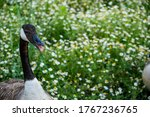 A Wild Goose With Its Mouth...
