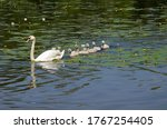 Swan With Swans Swimming In Th...