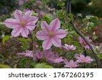 Summer Flowering Deciduous...