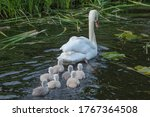 Mother Swan And Her Title Swans
