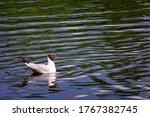White Bird Gull On The Water In ...