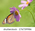 Monarch Butterfly Feeding On...