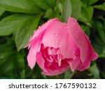 Fresh Pink Peony Flower In Dew...