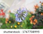 A Beautiful Blue Agapanthus...