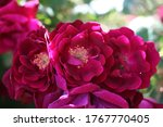 Dark Pink Roses In A Cluster...