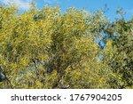 An Australian Wattle Tree...