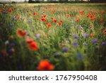 Poppy And Cornflowers In...