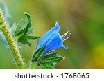 flower  echium plantagineum  | Shutterstock . vector #1768065