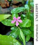 Catharanthus Roseus  L.  G. Don ...