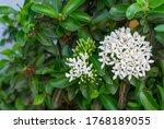 White Ixora Flowers On Tree....