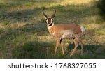 Male Pronghorn Antelope...