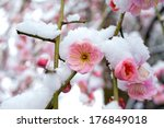 Japanese Plum Blossoms In The...